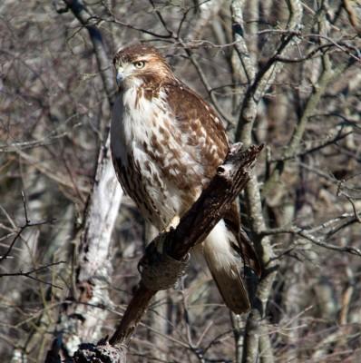 Hawk at Forsythe