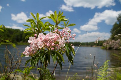 Mountain Laurel at Hemlock Pond