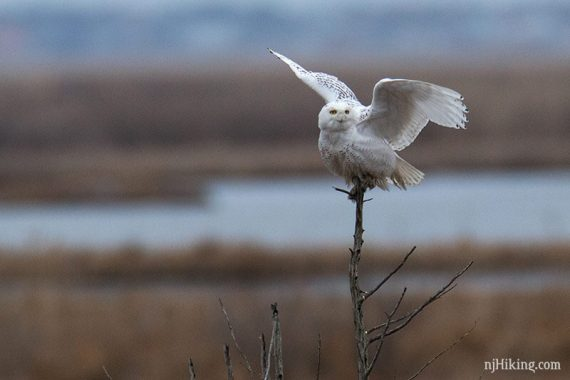 Snowy owl with wings spread perched on a branch