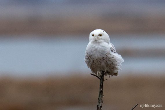 Snowy owl perched on a branch with yellow eyes visible
