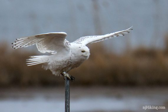 Snowy owl with wings open perched on a thin post