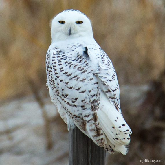Snowy Owls Spotted In New Jersey Njhiking Com