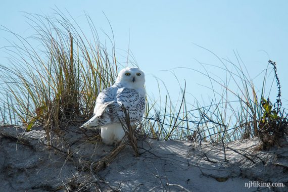 Snowy owl sitting on a sand dune with its head looking over its shoulder