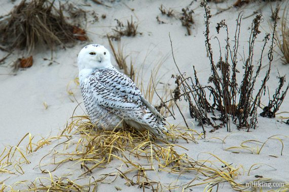 Snowy owl sitting on a sand dune with its eyes half open