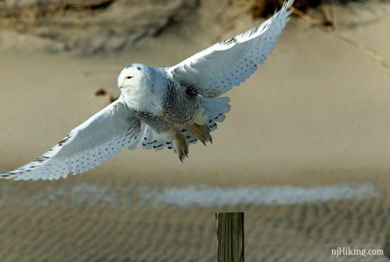 Snowy owl with wings spread in flight