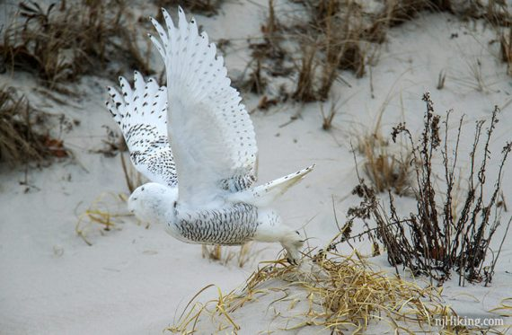 Snowy owl with wing spread up just over a sand dune