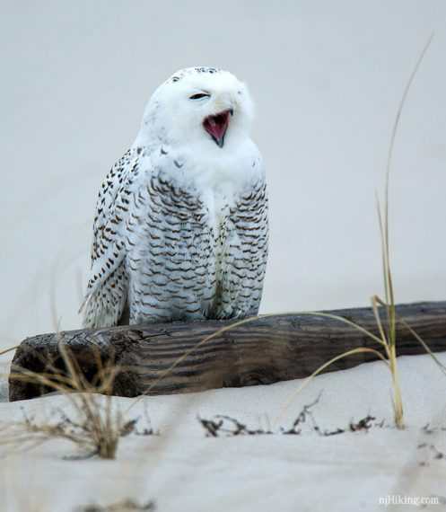 Island Beach State Park Nj: Snowy Owls Spotted In New Jersey