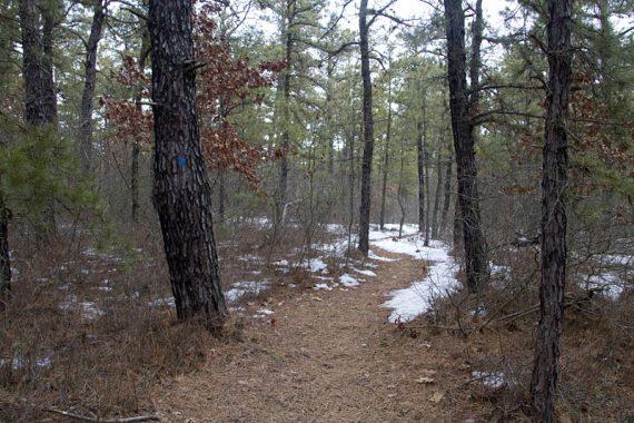 Blue trail marker on a pine tree