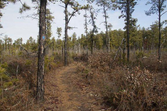 Pine trees along a trail
