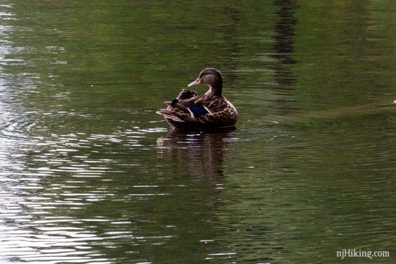 Duckie back at Lake Minnewaska