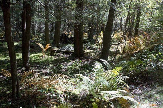 Cedar swamp with large ferns