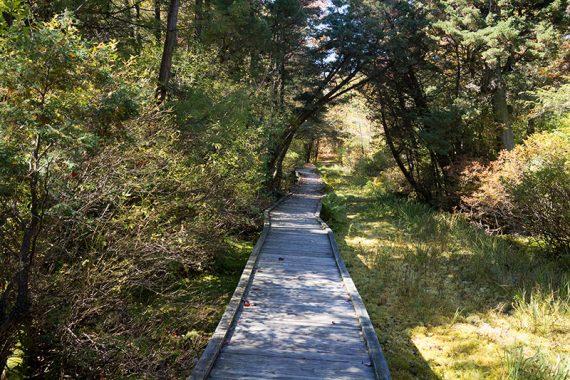 Boardwalk over a cedar swamp