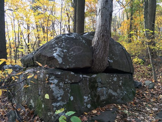 Tree growing out of a boulder