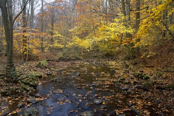 Stream surrounded by yellow fall foliage