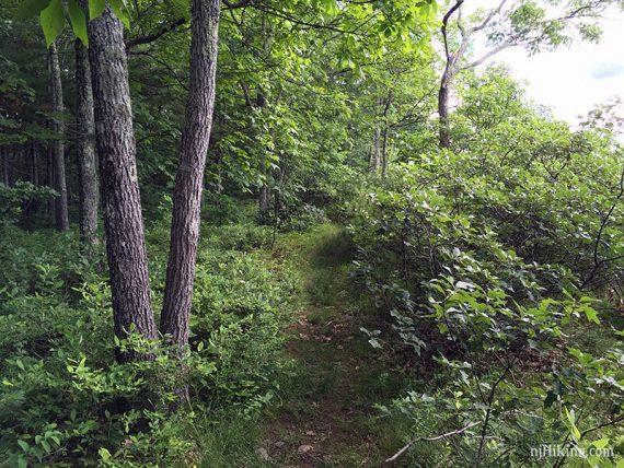 Faint casual path through foliage