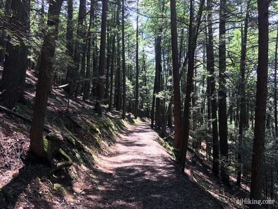 Flat trail with tall trees on either side