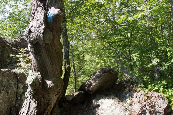 Gnarled tree with a blue trail marker