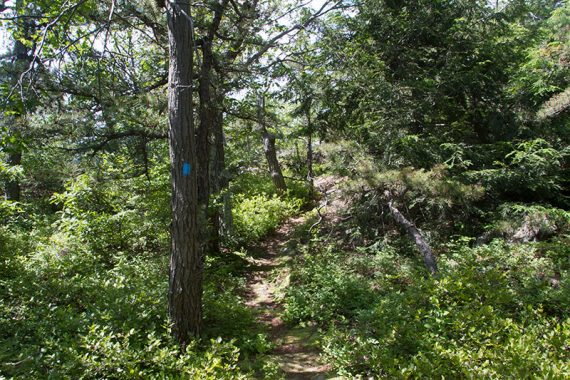 Evergreen trails along a trail