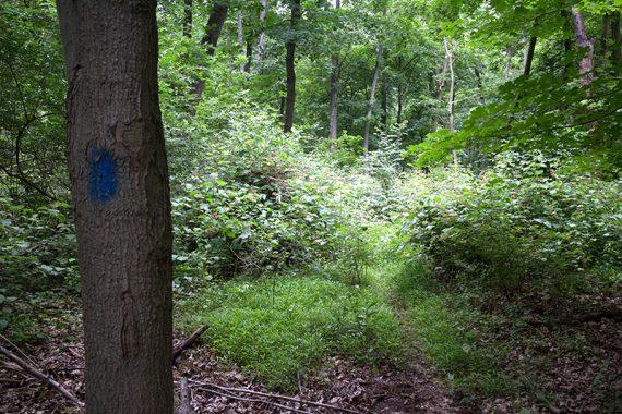 Overgrown BLUE trail in the beginnin