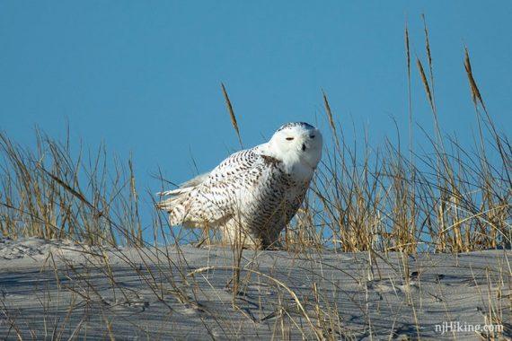 Snowy owl sitting in dune grass