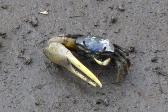Fiddler crab by the crabbing bridge