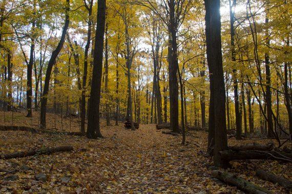 Bright yellow foliage on the Cushetunk Trail