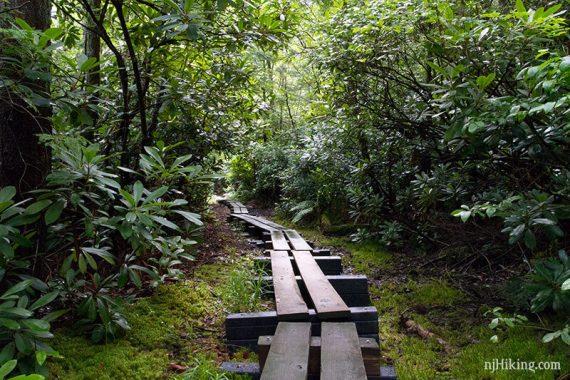 Rhododendon around a boardwalk trail