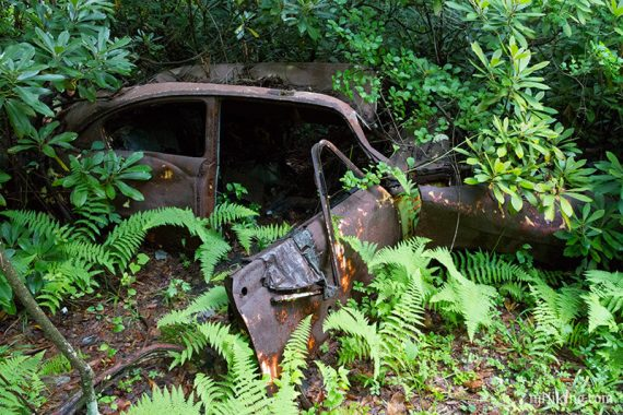 Rusted car overgrown with ferns