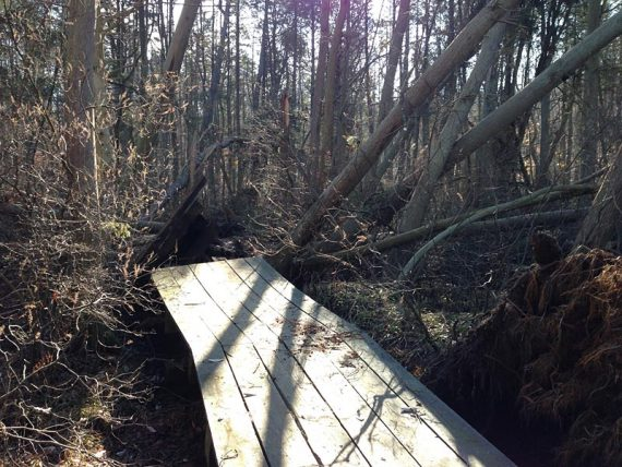 Uprooted section of boardwalk in the cedar swamp section of the GREEN trail