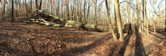 Large blow down on the GREEN trail