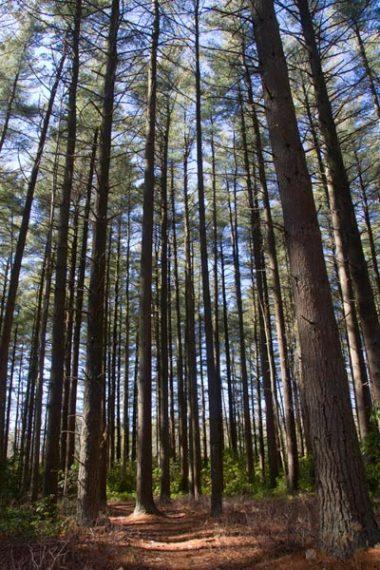 ORANGE Trail - lots-o-pine!