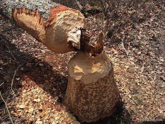 Tree toppled by beaver activity