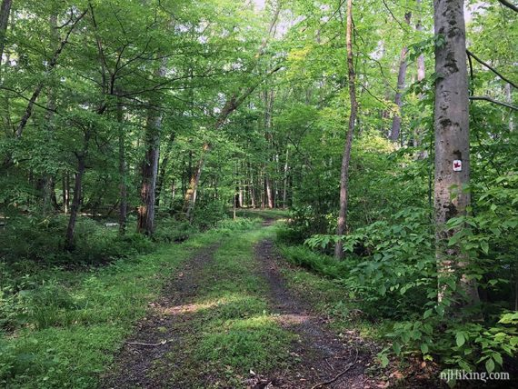 Red Maple trail follows a woods road