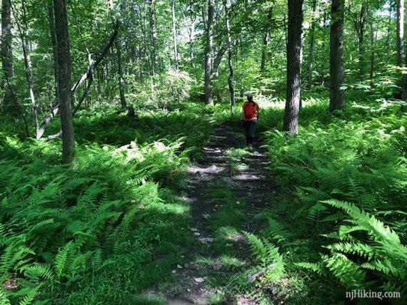 Ferns along Coppermine Trail
