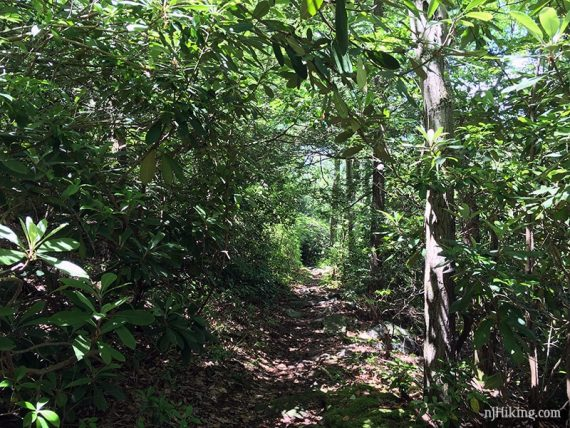 Rhododendron and mountain laurel tunnels