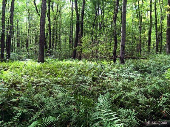Ferns along the Ireland Brook trail