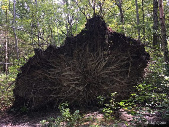 Roots of a very large overturned tree