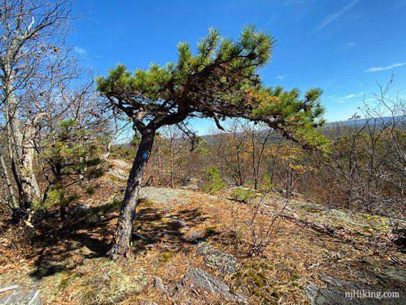 Cool pine tree