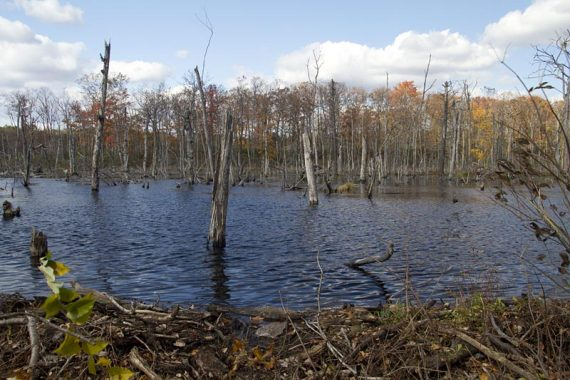 Swampy area from beaver activity