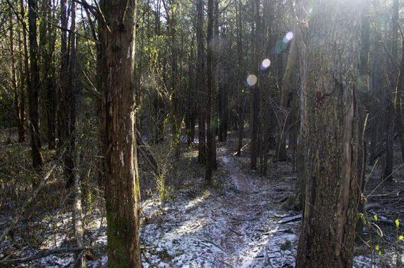 Through dense pines