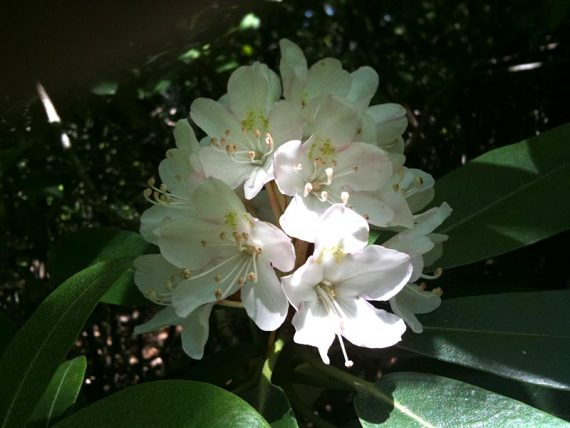 Rhododendron on Ernest Walter Trail
