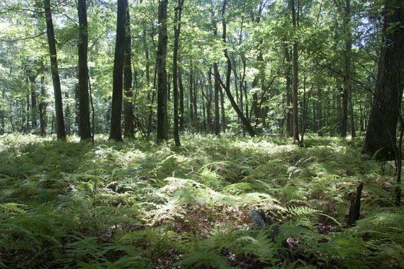 Ferns along the Blue Trail