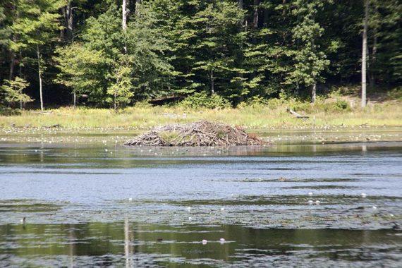 Beaver dam on Misty Pond