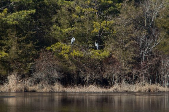 Blue herons off of Gull Pond Rd.