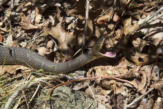 """Snake """"yawning"""""""