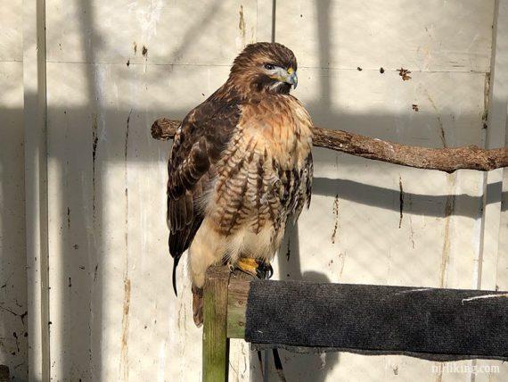 Rescued hawk