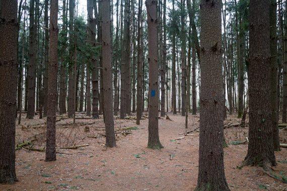 BLUE heads through pine trees.