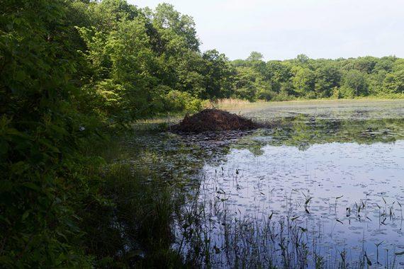 Beaver dam on Deer Park Pond