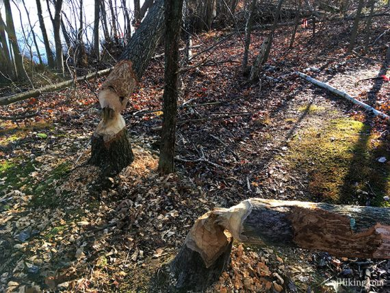 Felled trees by busy beavers