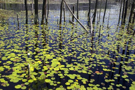 Lily pads in Skit Branch